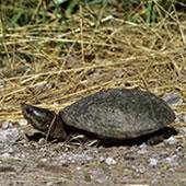 Stinkpot_Turtle