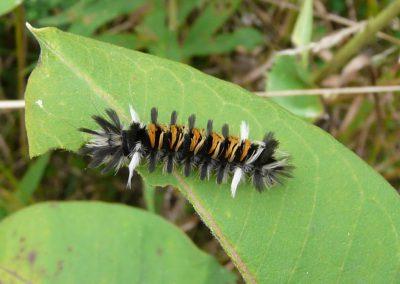 Milkweed-Tussock-Moth-caterpillar-Euchaetes-egl-Cat-Cons-2013-09-13